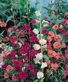 Double Mixed Clarkia - Annual Flower Seeds.