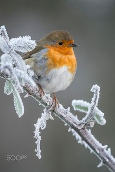 Winter Robin.... Relax with this nature photo. #Relax more with this #free #music with #BinauralBeats that can #heal you. #landscaping #LandscapingIdeas #landscapeDesign