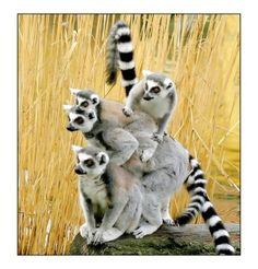 lemurs are so cool!