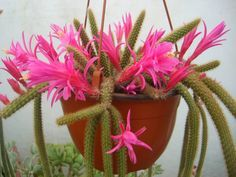 How to Grow and Care for Disocactus - See more at: http://worldofsucculents.com/how-to-grow-and-care-for-disocactus