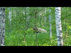 НОВОСТИ про МЕДВЕДЯ || НГС сообщает о медведе в районе Кольцово