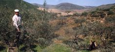 Olive harvesting in Tras os Montes, Porto and North of Portugal region, Portugal