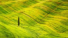 Lost - Lonely cypress on the flowering field near Pienza, Tuscany, Italy