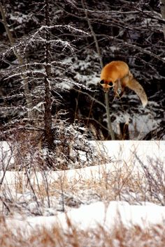 Red Fox jumping super high to get burrow at a small mammal underneath the snow!