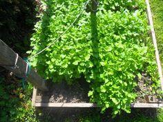 Celery, Herbs, Fruit, Vegetables, Industrial, Gardening, Business, Decor, Decoration