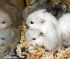 A cute little pile of young Winter White hamsters :D