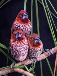 uccellini del ciad