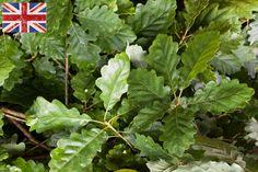 British Oak at New Covent Garden Flower Market - July 2015