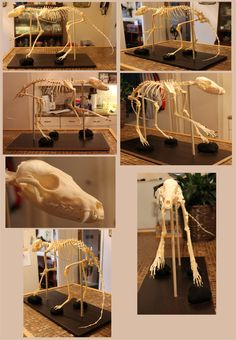 Articulated Red Fox Skeleton Study by BluesCuriosities on deviantART