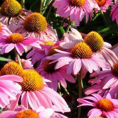 Plantes Vivaces ECHINACEA purpurea 'Feeling Pink' - Rudbeckia Pourpre en vente - Pépinière Lepage