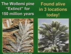 Scientists have taken DNA from the 3 different groups of Wollemi Pine, and they're the same. If they had been separated for such a long time, there would be differences.