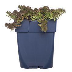 <p><strong>Herkomst</strong><br />Dit wintergroene plantje is bekend onder de naam Wit Vetkruid en groeit in Europa in het wild op rotsen. De stervormige bloemetjes worden niet hoger dan een 10 cm en hebben een koraalroze gloed.</p><p><strong>Kenmerken</strong><br />Hoe droger dit plantje staat en hoe slechter de grond, des te mooier de plant zal groeien en bloeien. Op voedselrijke grond met te weinig licht zal het veel groen geven en weinig bloem, dus verwaarloos hem goed. Geschikt voor de… Planter Pots, Carpet, Coral, Canning, Home Canning, Rug