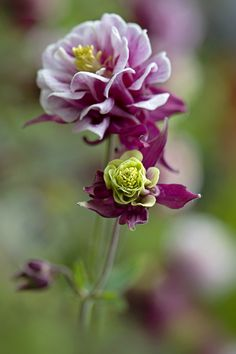 Photograph Aquilegia 'Winky' by Jacky Parker on 500px