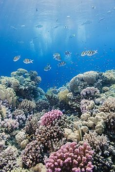 Hard coral and tropical reef scene, Ras Mohammed National Park, off Sharm el…