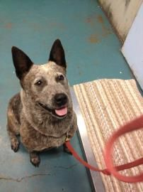 I'm Tennessee, a 2 yr old American Blue Heeler/Purebred.  I was found 7-11-13 on Stallings Ln, in Eugene. The staff will have more information about me in the coming days if my owner doesn't come in for me. If you would like to find out more about me, please call and talk to the staff (541) 844-1777. See all of the pets at this shelter by visiting www.green-hill.org.