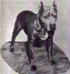Ten notable extinct dog breeds: Blue Paul Terrier - Legend links the origins of this ruthless fighting dog with sailor John Paul Jones, who was credited for introducing blue terriers into Scotland. With a bluish tinged coat, this dog was common in U.K. and U.S. in the mid-1800s when dog fighting was widespread entertainment. #BluePaulTerrier #Terrier #DogBreeds
