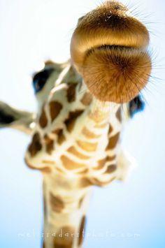 """Mwah"" www.giraffethings.com"