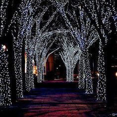 Christmas lights in trees. One of my favorite things.
