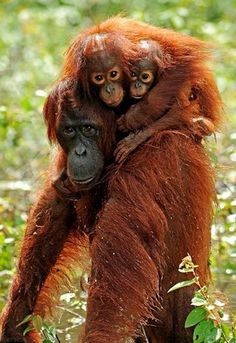 Orangutan mom & her twins | orangutans are now endangered