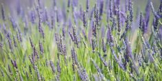 Blooming lavender fills summer air with a voluptuous, calming fragrance, an aroma often found in perfumes, lotions and soaps - but this herb is more than an olfactory delight. #Lavender can make a splash at the kitchen table in beverages, jams and even as seasoning on meats. Take a deep breath and dive into cooking with lavender. #realfood