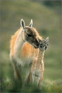 Guanaco and baby (wild cousins of llamas and alpacas) The Animals, Nature Animals, My Animal, Baby Animals, Strange Animals, Animal Babies, Unusual Animals, Wild Animals, Alpacas