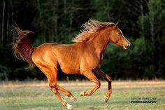 Arabian horse Egyptian stallion Morgan