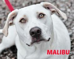 2/1/14 Malibu - Retriever mix - Female - 10 months - Honor Animal Rescue - University Park, FL -  http://www.petango.com/webservices/adoptablesearch/wsAdoptableAnimalDetails.aspx?id=20511341&css=http://sms.petpoint.com/WebServices/adoptablesearch/css/styles.css http://www.nateshonoranimalrescue.org/?page_id=1226 https://www.facebook.com/HonorAnimalRescue