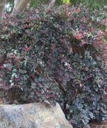 Loropetalum varieties -  Pipa's Red Chinese Fringe Flower