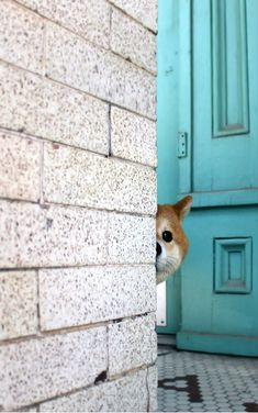 A peeking Shiba Inu.♥ (via Shiba Inu Nanu/柴犬Nanu) Animals And Pets, Funny Animals, Cute Animals, Cute Puppies, Dogs And Puppies, Pet Dogs, Dog Cat, Japanese Dogs, Peek A Boo