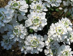The candytuft plant is a flowering, evergreen perennial with a few must do's for appropriate candytuft care and continued performance. Find out how to properly care for candytuft in this article. Outdoor Plants, Garden Plants, Garden Weeds, Outdoor Areas, Outdoor Fun, Flower Beds, My Flower, White Flowers, Beautiful Flowers