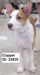 Copper is an adoptable Terrier Dog in Pell City, AL.  Primary Color: White Secondary Color: Brown Age: 0yrs 4mths 0wks  Animal has been Neutered...