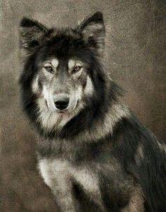 Portrait of a wolf by estela