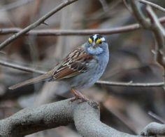 #WhiteThroatedSparrow  (photo taken by Denise D'Angelo)