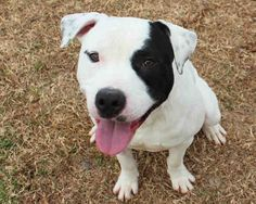 Adopt This Handsome American Pit Bull Terrier.