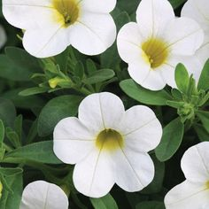 ~Calibrachoa (Million Bells), is a fast-growing, tender perennial commonly grown as an annual.