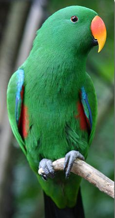 Male Eclectus roratus parrot -  this parrot native to the Solomon Islands, New Guinea, northeastern Australia and the Maluku Islands (Moluccas). It is unusual in the parrot family for its extreme sexual dimorphism.