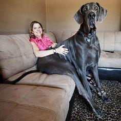 Fancy - George, a Great Dane from Tucson, Arizona World Tallest Dog