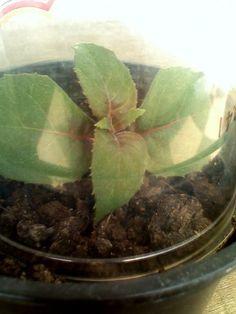 Cum se inmulteste fuchsia (cercelusul) - magazinul de acasă Plant Leaves, Plant