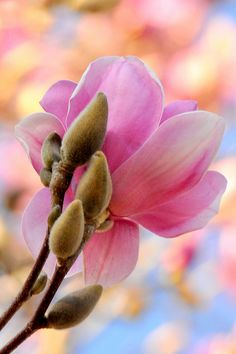 Japanese Magnolia - I love seeing this tree bloom in moms front yard every year. So beautiful and the first sign that spring is on the way. Exotic Flowers, Amazing Flowers, My Flower, Flower Art, Beautiful Flowers, Beautiful Gorgeous, Flor Magnolia, Magnolia Trees, Magnolia Flower