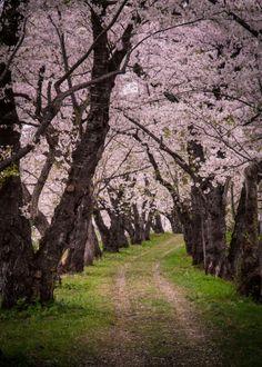 Cherry blossoms in Kakunodate,Akita, Japan