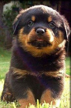 """Get excellent ideas on """"rottweiler puppies"""". They are readily available for you on our website. Baby Rottweiler, Cute Puppies, Dogs And Puppies, Bulldog Breeds, Pet Breeds, Positive Dog Training, Pet Dogs, Pets, Chihuahua Dogs"""