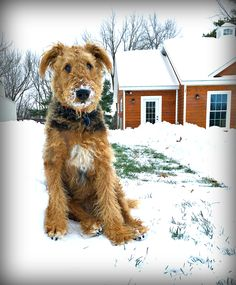 Snowstorm Pup-Piper the Airedale