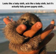 Funny pictures about Pygmy Sloth Is A Huger . Oh, and cool pics about Pygmy Sloth Is A Huger . Also, Pygmy Sloth Is A Huger photos. Super Cute Animals, Cute Little Animals, Cute Funny Animals, Cute Baby Sloths, Cute Sloth, Baby Otters, Cute Animal Pictures, My Spirit Animal, Cute Creatures