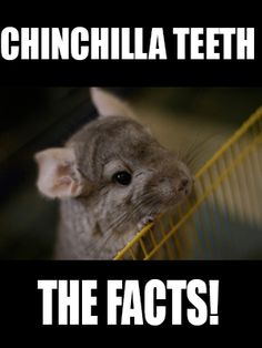 Chinchilla Teeth: The Facts!