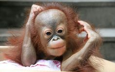 A zoo in Chongqing Municipality, southwest China has launched a competition to find a name for a newborn baby orangutan. The unnamed female orangutan is now 100 days old and was born to parents Bo Yi and Kou Lai La. Cute Baby Animals, Animals And Pets, Funny Animals, Unusual Animals, Animals Beautiful, Save The Orangutans, Ape Monkey, Tiny Monkey, Baby Orangutan