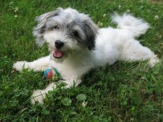 The Havanese is actually a gentle and affectionate breed that thrives on human companionship.