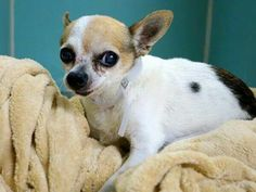 TO BE DESTROYED - 09/19/14 Manhattan Center  My name is TACO. My Animal ID # is A1013922. I am a male white and brown chihuahua sh mix. The shelter thinks I am about 12 YEARS old.  I came in the shelter as a STRAY on 09/12/2014 from NY 10474, owner surrender reason stated was STRAY. I came in with Group/Litter#K14-194082. https://m.facebook.com/photo.php?fbid=870708902941990&id=152876678058553&set=a.611290788883804.1073741851.152876678058553&source=46