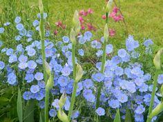 10~ Blue Flax Seeds (Perennials)