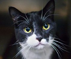 FOXY - A1108666 - - Brooklyn  ***TO BE DESTROYED 05/23/17***BEGINNER ALERT…13 MONTHS OLD…FOXY is a friendly and very handsome kitty that needs a loving home asap. He has recently come down with the shelter cold and needs placement before he gets listed.  -  Click for info & Current Status: http://nyccats.urgentpodr.org/foxy-a1108666/