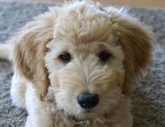 \my goldendoodle Willow @ 12 weeks..she is almost 3 now and just as adorable